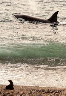 Orca Season in Punta Norte Peninsula Valdes Patagonia Argentina Ushuaia, Peninsula Valdes, Argentina Travel, Adventure Activities, South America Travel, Whale Watching, Vacation Spots, The Great Outdoors, Country