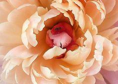 One of many beautiful works of Georgia OKeefe Love Flowers, Beautiful Flowers, Watercolor Flowers, Watercolor Art, Georgia O Keeffe Paintings, Peach Peonies, Peach Rose, Georgia Okeefe, Arte Floral