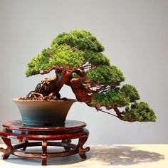 Great Juniper in cascade style, by Thanun Patipantada from Thailand. #bonsai