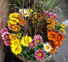 Fairy+Garden+Gazania+Bright+Day+Mix+Gazania+rigens+-+20+Seeds