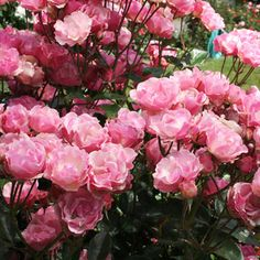 Top Roses for Gardens in the South-->Good Lord all the roses I plant in the ground here in Louisiana grow like CRAZY.  I have: climbing Don Juans, Iceburg, Sunny Knockouts, Peace, Angel Face and Double Delight.