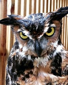 Someone had a bad hair day! The #Alabama #Wildlife Center's Great Horned #Owl seems unamused by today's wet weather!
