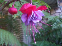 """""""Bleeding Heart"""" flower in Murrow Bay"""