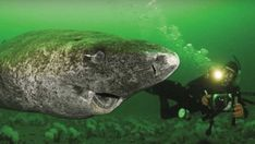 This Greenland shark found in the arctic is the oldest living vertebrae. It's 400 years old - Orcas, Greenland Shark, Species Of Sharks, Animal Facts, Tier Fotos, Mundo Animal, Animals Of The World, Ocean Life, Marine Life