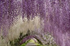 this is a wisteria garden in japan and it is amazing