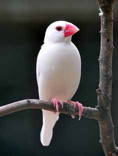 White Java Sparrow-  a resident breeding bird in Java, Bali and Bawean in Indonesia.