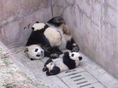 panda. bear