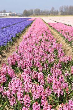 Hyacinth Fields in Holland | Design Mom