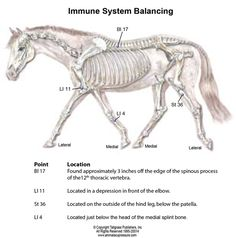 Boost Your Horse's Immune System with Acupressure  By Amy Snow and Nancy Zidonis