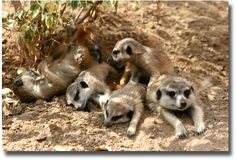 Meercats at the Werribee Open Range Zoo