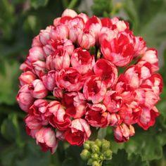 204 Pelargonia Victoria Andrea Pelargonium
