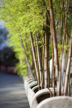 Afraid to Plant Bamboo? These varieties Aren't invasive. (However, a common solution would be to plant your bamboo in a raised planting bed that's surrounded by walls or cement.)
