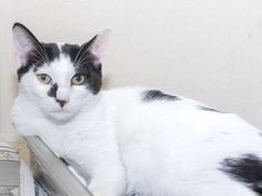 This CAT - ID#A466869 - URGENT - Harris County Animal Shelter in Houston, Texas - ADOPT OR FOSTER - 6 MONTH OLD Neutered Male Domestic Shorthair - at the shelter since Aug 26, 2016.