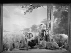From the archives: Museum staff members prepare the African Lion Diorama in the Akeley Hall of African Mammals, March 1935.   © AMNH Library/Image #283077