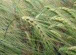 What is Spelt Grain?