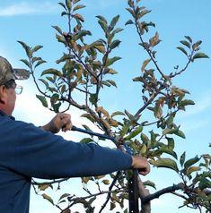 Обрезку плодовых деревьев необходимо закончить минимум за пару недель до начала активного сокодвижения