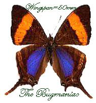 Nymphalidae BG : Marpesia corinna - The Bugmaniac INSECTS FOR SALE BUTTERFLIES FOR SALE INSECTS FOR SALE BUTTERFLIES FOR SALE BUTTERFLIES BY ECOZONE NEOTROPICAL ECOZONE NYMPHALIDAE