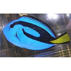 Blue Hippo Tang - Show