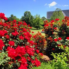 Roses are red. The sky is blue. We're glad to be Hoosiers. Aren't you? #indianauniversity #iu #hoosiers #nofilter