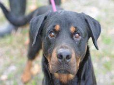 Rottweiler dog for Adoption in Fort Lauderdale, FL. ADN-457919 on PuppyFinder.com Gender: Male. Age: Adult