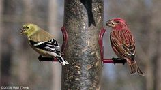 Male Purple Finch (Carpodacus purpureus) (right) with an American Goldfinch.
