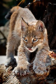 Lynx Baby ~ Denise Soden Photography ~