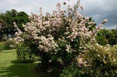 DEUTZIA MONT ROSE | DEUTZIA X 'Mont Rose' - Plantes extérieures - Plantes Shopping ...
