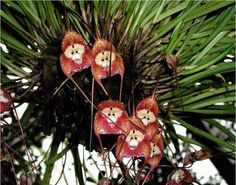 Monkey orchids, found in the Peruvian cloud forest. Scientific name: Dracula simia
