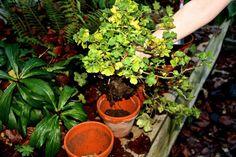 Nestojí to ani 1 Euro: Môj rokmi overený trik, ako prinútiť muškáty kvitnúť celú sezónu-až do jesene! Succulents, Ale, Plants, Euro, Ale Beer, Succulent Plants, Plant, Ales, Planets