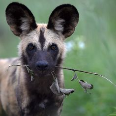"""A dog for sure! A guest took this shot of a wild dog whilst at Zarafa.  """"A young wild dog, showing his puppy side. In Zarafa Camp, Botswana. #africanamazing #stunning_shots #african_portraits #waycoolshots #star_winners…"""""""