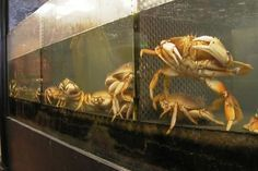 Crabs can become cannibalistic when living in close quarters