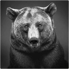 """Alexander von Reiswitz is one of the top photographers on the Lumas website. This is his bear photo entitled """"Nora."""" This was listed as one of the best-sellers in the Lumas catalog - we certainly understand why! Pencil Drawings Of Animals, Realistic Pencil Drawings, Pencil Drawing Tutorials, Amazing Drawings, Art Drawings, Drawing Art, Graphite Drawings, Sketch Drawing, Art D'ours"""