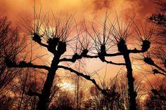 Pollard Weide, Weide, Baum, Silhouette, Kahler Baum
