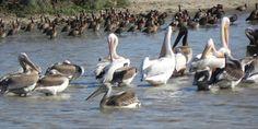 pelícanos y crias, El Parque Nacional de las Aves del Djoudj (Parc national des oiseaux du Djoudj en francés) está situado a unos sesenta kilómetros al norte de Saint-Louis, en la región de Saint-Louis (Senegal), en la frontera con Mauritania. Es la tercera reserva ornitológica del mundo en importancia.