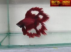 Siamese Fighting Fish - Red Double Veil Tail male Betta Splendens