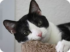 Hawthorne, CA - Domestic Shorthair. Meet Mary Jane, a cat for adoption. http://www.adoptapet.com/pet/12806323-hawthorne-california-cat