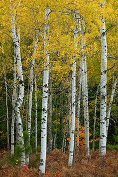 Quaking Aspen grove. Populus tremuloides