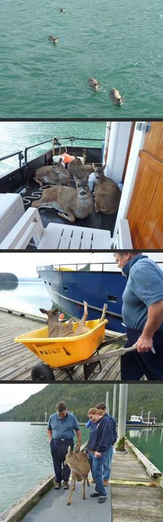 "I once caught a...""fish"" THIS BIG.  Sitka black-tailed deer rescued in Taku Inlet"