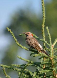 Northern Flicker Northern Flicker, Wildlife, Bird, Photos, Animals, Pictures, Animales, Animaux, Birds