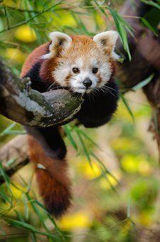 Tier, Niedlich, Roter Panda, Baum