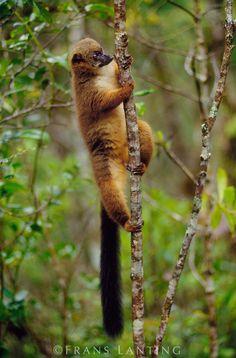 Red-bellied lemur scent-marking tree, Eulemur rubriventer, Ranomafana National Park, Madagascar