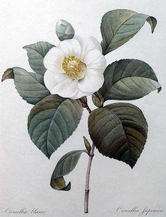 Camellia japonica by P-J Redouté #watercolor #Redouté #flowers