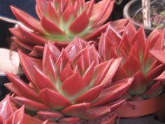 Echeveria agavoides (red)