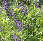 Keep Your Baptisia Standing Tall on http://www.hortmag.com