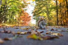 Squirrel eating the yummy nut while standing in middthe le of the road Leaf Images, Tree Images, Nature Images, Baby Squirrel, Red Squirrel, What Do Squirrels Eat, Animal Agriculture, Forest Animals, Christian Life