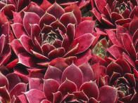Sempervivum tectorum, also known as hens and chicks, are ornamental succulents that will tolerate shade and sun.