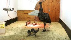 Straußenland - Emu mit Kücken