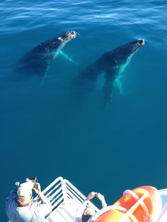 Sychronised Swimming Humpback Whales as seen on Whalesong Cruises in Hervey Bay