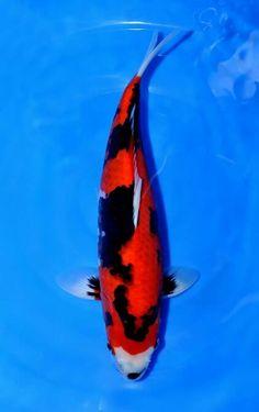 Azukari Hi Showa Showa Koi, Carpe Koi, Japanese Koi, Koi Carp, Fish, Ponds, Smile, Club, Beautiful
