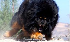 Tibetan Mastiff Puppy Sells For $2 Million Dollars In China - Skrillionaire